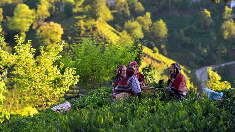 مزارع الشاي ريزا